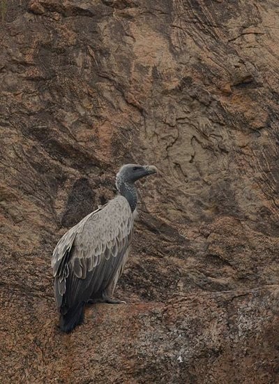 Indian vulture.jpg